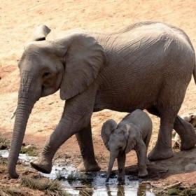 En nuestro voluntariado de Conservación de Vida Salvaje en Botsuana nos encontramos un par de elefantes.